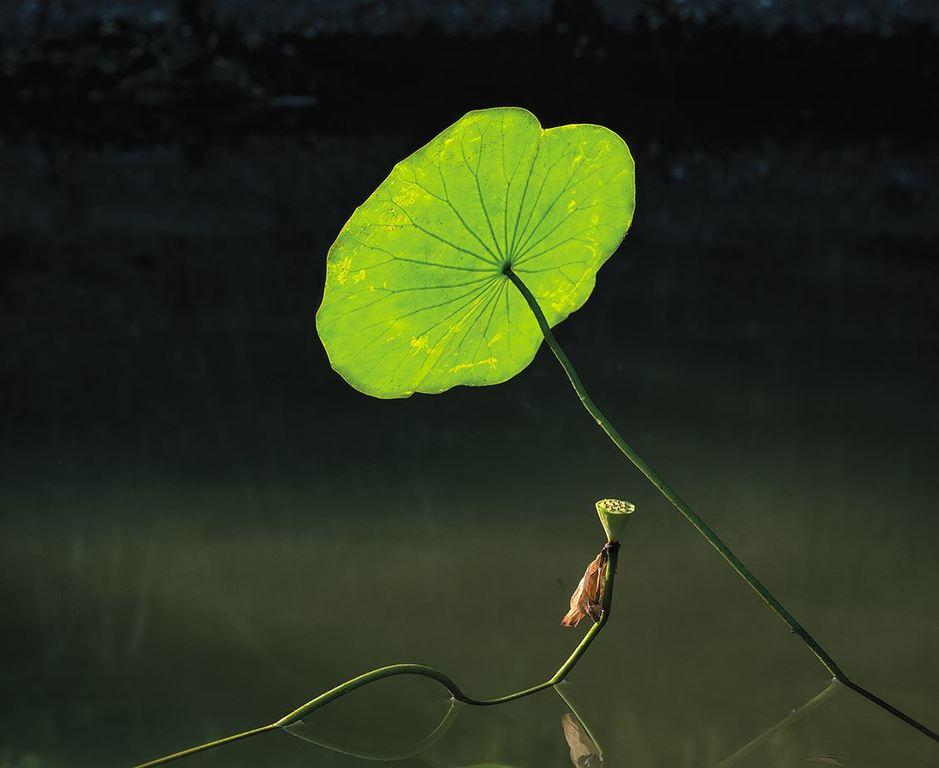 荷塘清露-15