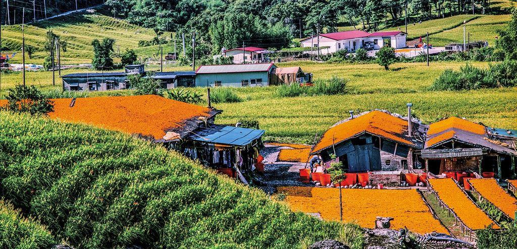 縱谷八月金色風華-赤柯山-9