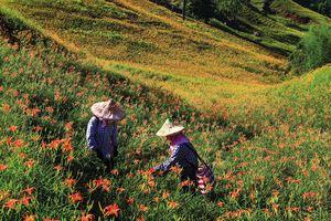 縱谷八月金色風華-赤柯山-13