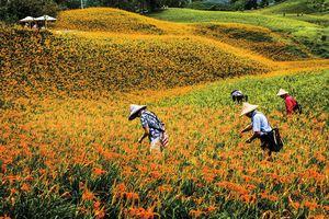縱谷八月金色風華-赤柯山-16